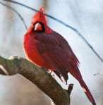 Male cardinal showing off his colors