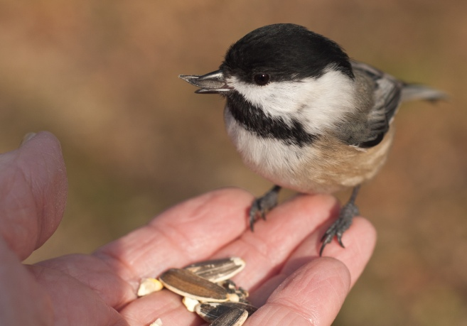 The chickadees are friendly little birds. They seem to know I carry birdseed in my pocket.