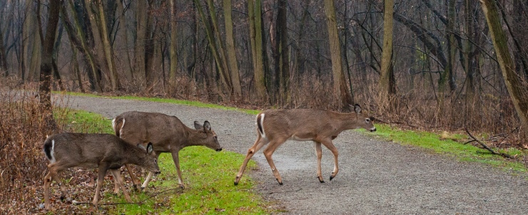 Deer playing follow the leader.