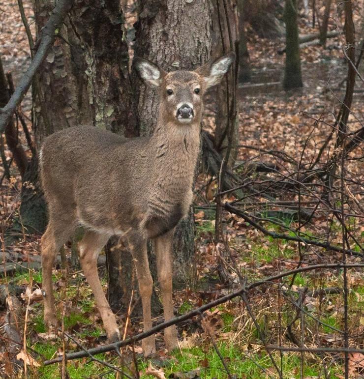 Very young deer
