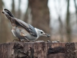 A hungry nuthatch