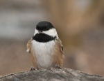 Friendly chickadee