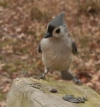 The tufted titmouse is a perky little bird.