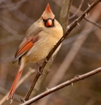 Lady cardinal, one of my favorites!