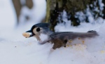 The titmouse sank in the snow, but still got the prize.