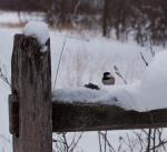 chickadee contemplating a treat