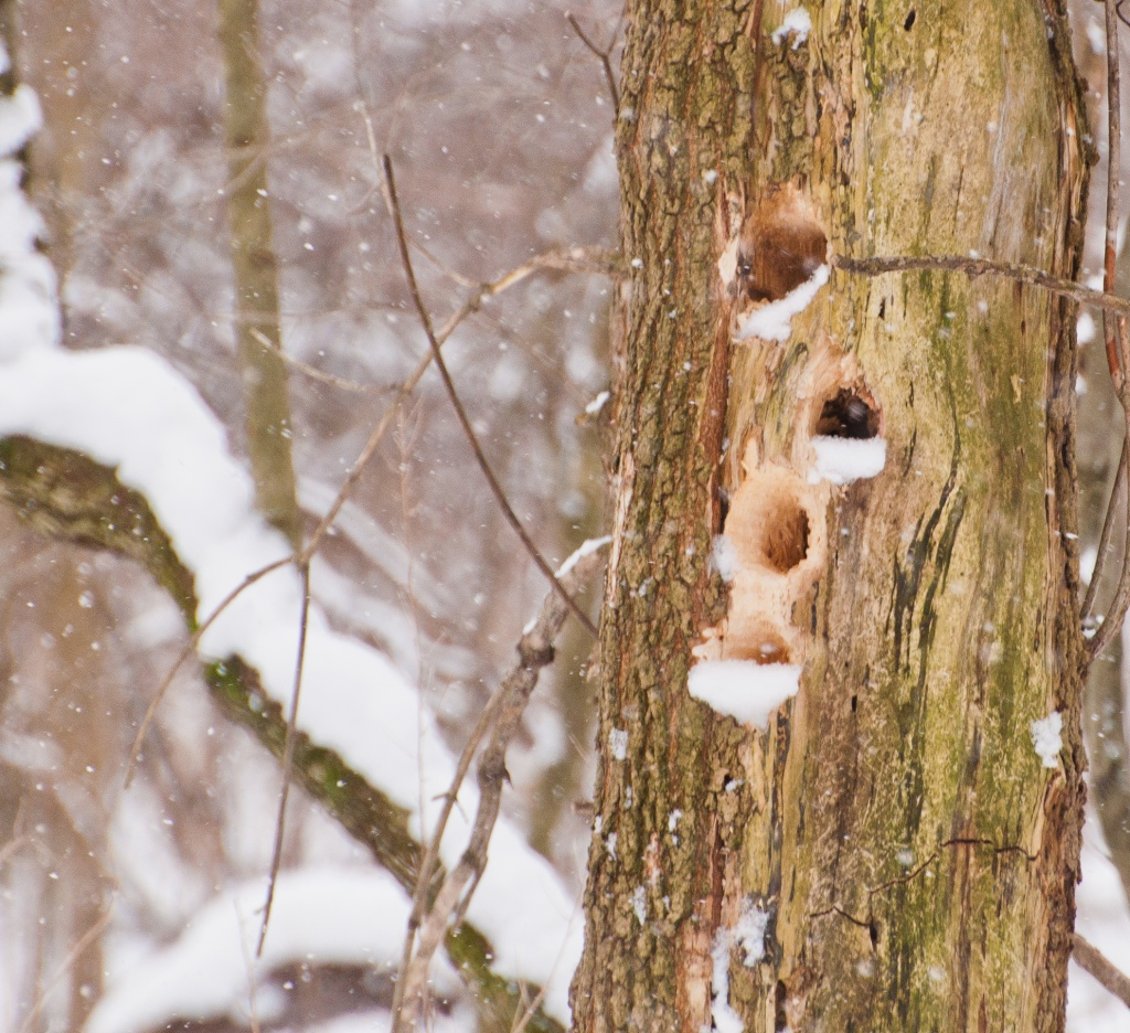 A pileated woodpecker has been here.