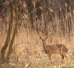 White-tail deer