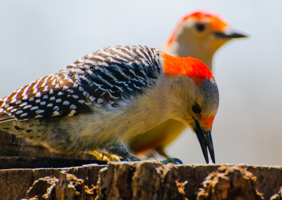 two red-bellied woodpeckers
