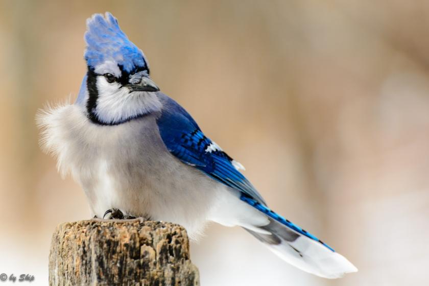 Blue jay on a snowy day