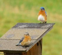 Nesting bluebirds