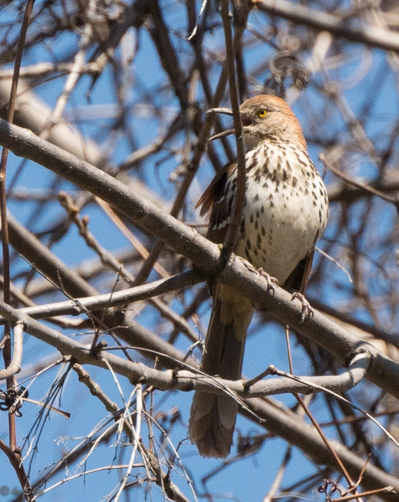 It's a brown thrasher!