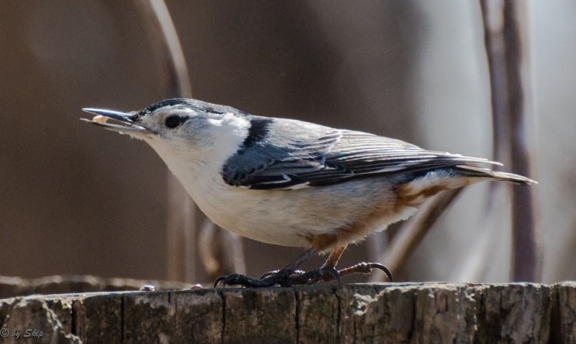 The ever present nuthatch