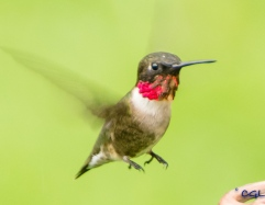First hummer of the summer!