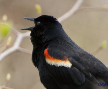 Redwinged blackbird sounding off