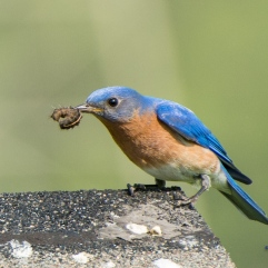 Daddy bluebird found a grub!