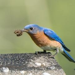 Daddy bluebird found a grub!