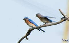...where Mommy bluebird is waiting.
