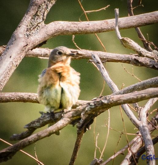 Female bluebird again