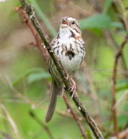 Song sparrow (definitely!)