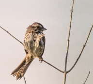 Song sparrow (I think)