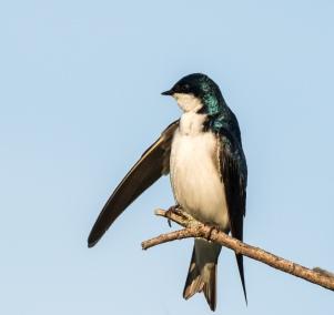 Tree swallow on traffic control duty