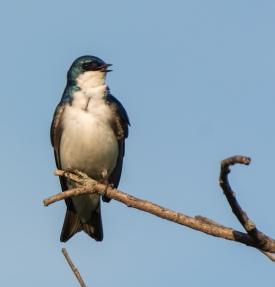 Chirping tree swallow
