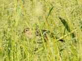 Tall grass and secretive bird
