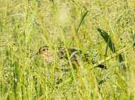 Tall grass and secretive bird