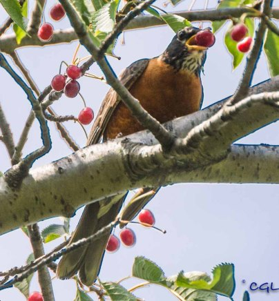 Robins love berries.