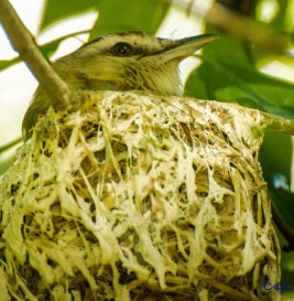 a tightly woven nest for the vireos.