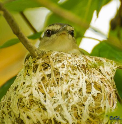 Sitting in the nest.