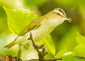 A vireo parent