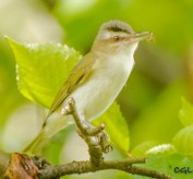 Red-eyed vireo carrying food to the nest.