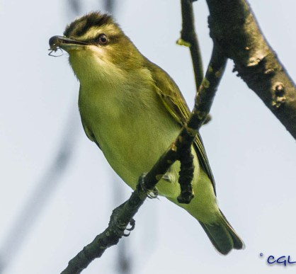 Food for the little vireos