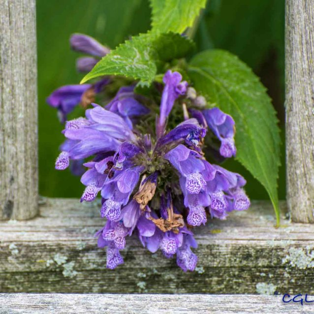 Purple flower and a weathered bench