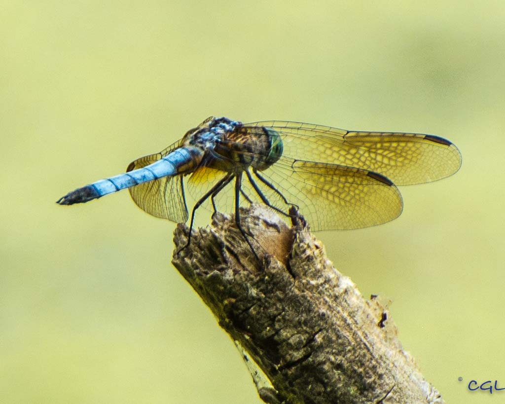 The blue dasher dragonflies were dashing around everywhere!