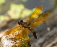 An eastern amber wing