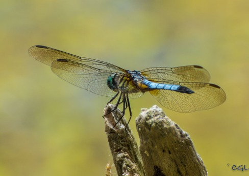 Blue dasher, a common dragonfly, according to Roz.