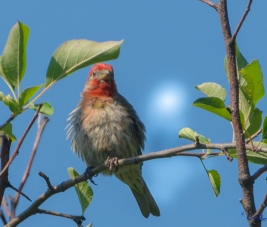 house finch in the apple tree