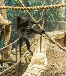 Francois' monkey