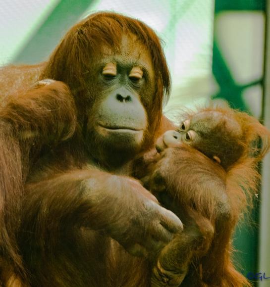 Mother orangutan and baby
