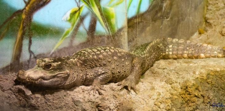 Alligator (crocodile?)