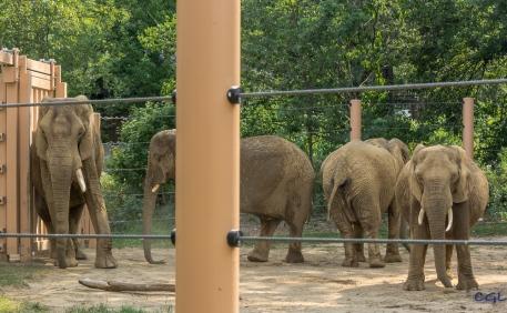 Elephants crossing!