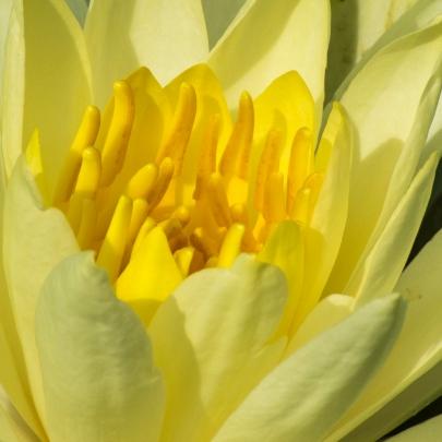 Waterlily closeup