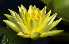 Waterlily at the Arboretum