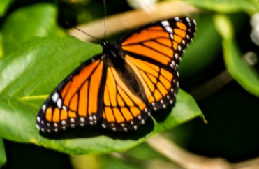 One of this summer's last monarchs