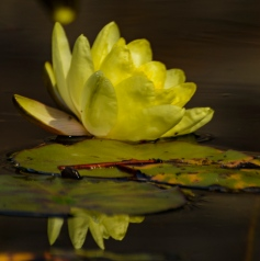Water lily in the lily pond