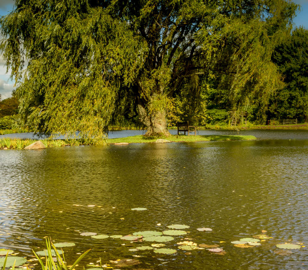 Lily pads and the willow tree