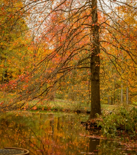 A favorite Fall tree by Sherwin Pond